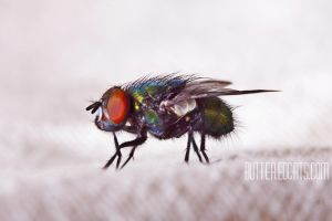 Calliphoridae #006 by ButteredCats