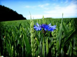 Cornflower by wolfilain