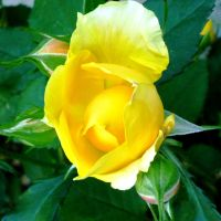 yellow rose full bloom squared by st2wok