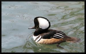Hooded Merganser Male by PurlyZig