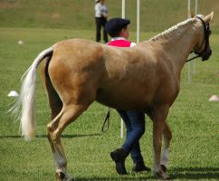 Palomino-riding-pony-7 by tbg-stock-images