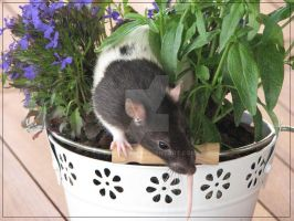 Rat in a flowerpot by Plagued13