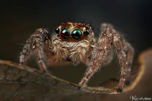 Jumping Spider II by AlHabshi