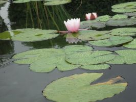 Light pink Water lily by Bianka98