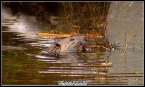 Beaver in Algonquin by PrimalOrB