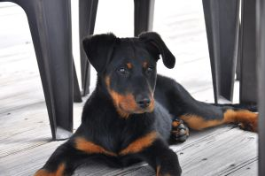 Beauceron by Pocpoc