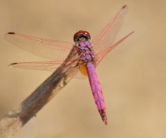 Dassia dragonfly August 2014 3 4 by melrissbrook