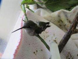 Injured Young Hummingbird 4 by Windthin