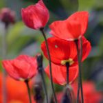 Just poppies by NB-Photo