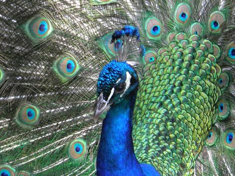 Peacock Close Up by thescholar23