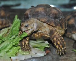 Baby Tortosie by JayConstrictors12
