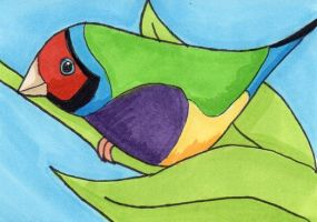 Lady Gouldian Finch ATC by anne-t-cats