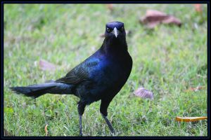 One Bad Ass Grackle by SalemCat