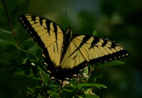 Tiger Swallowtail by gerald-the-mouse3