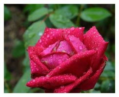 Water Droplets on a Rose 01 by phantompanther