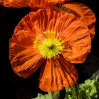 Poppy_jm5379.jpg by joergens-mi