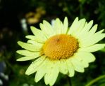 Daisy after rain by AdoniMiah