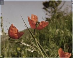 Poppies have popped up by Selina-Vigu