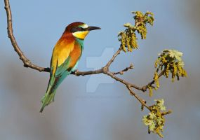 All things bright and beautiful - Bee-eater by Jamie-MacArthur