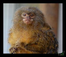 Marmoset by Wild-Soul