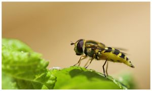 Hoverfly by Roman89