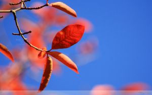 Red Leaves On Blue Sky Wallpaper by Clu-art