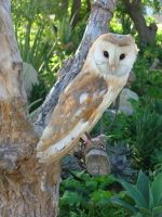 Barn owl by Faunamelitensis