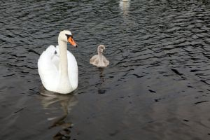 Family of swans by olgaFI