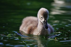 The ugly duckling by nicubunu