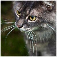 M252 :: Another cat, and day. by mr-MINTJAM