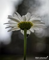 Looking Up Through the Daisy by mjohanson