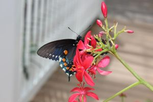 Spicebush Swallowtail by FightUnderTheLight
