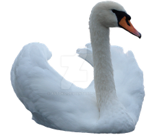 Swan 2 png ~ STOCK by AStoKo by AStoKo