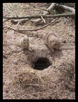 Prairie Dogs 2 by Rose-Of-Sin
