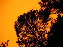 Tangerine Sunset Behind A Pine by JeremyC-Photography