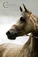 Arabian Stallion II by Colourize