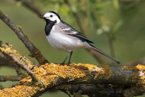 ...white wagtail... by Ulliart
