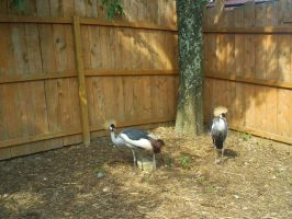 Crowned Cranes 3 by ToshirotheKnightWolf