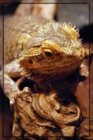 Bearded Dragon by RyDoG