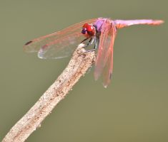 Dassia dragonfly August 2014 2 4 by melrissbrook