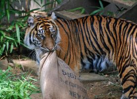 Sumatran Tiger: MINE by The-Long-Shot