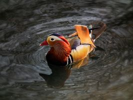 Mandarin Duck by Serephiminelysium