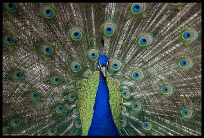 peacock by morho