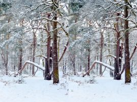 Pine Wood In The Snow Cross Eye View Stereo by aegiandyad
