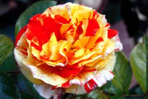 'Oranges and Lemons' Rose by chezem
