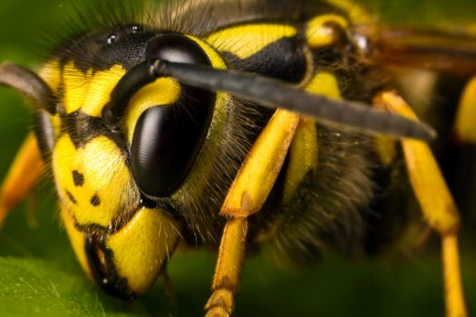 Queen Wasp I by dalantech