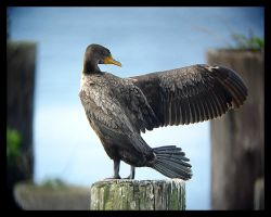 Cormorant Wing Stretch by swashbuckler