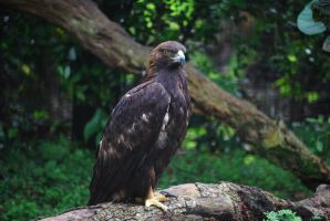 Golden Eagle by SBG-CrewStock