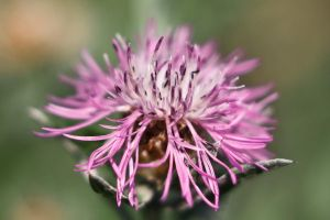 Pink macro by daily-telegraph