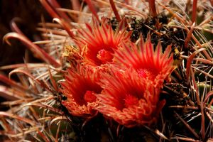 Cactus Blossom I by esee